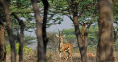 chinkara in mayureshwar wildlife scantuary